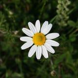 Matricaria chamomilla fotografie stock