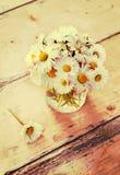 Matricaria chamomilla Lizenzfreies Stockfoto