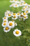 Matricaria chamomilla Fotografia Stock Libera da Diritti