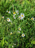 Matricaria chamomilla blossoms in a meadow stock images