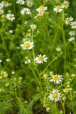 Matricaria chamomilla with blurred same flowers in the background. Matricaria chamomilla in the garden with blurred same flowers in the background. Top view royalty free stock images