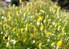 Matricaria chamomilla camomile, wild chamomile or scented mayweed in bloom,Aromatic clusters of flowers of long stalked heads,. Floral background stock photos