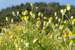 Matricaria chamomilla camomile, wild chamomile or scented mayweed in bloom,Aromatic clusters of flowers of long stalked heads,. Floral background royalty free stock photography