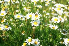 Matricaria chamomilla camomile, wild chamomile or scented mayweed in bloom. Floral background.  royalty free stock photography