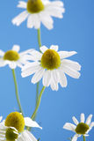 Matricaria chamomilla, chamomile against blue sky stock image