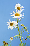 Matricaria chamomilla, chamomile against blue sky Royalty Free Stock Photography