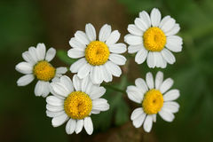 Matricaria chamomilla- the Chamomile has a strong odor Royalty Free Stock Photo