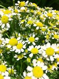 Matricaria chamomilla, commonly known as chamomile. chamomile. Matricaria chamomilla, Matricaria recutita, commonly known as chamomile royalty free stock photography