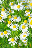 Matricaria chamomilla flowers. On meadow stock photography