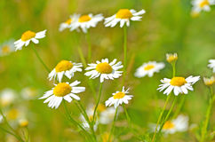 Matricaria chamomilla flowers. On meadow, close up view, selective focus Stock Photos
