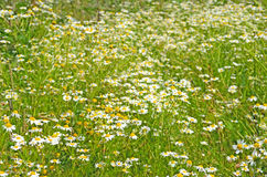 Matricaria chamomilla flowers on meadow. Selective focus stock photography