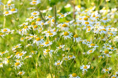 Matricaria chamomilla flowers on meadow. Selective focus stock images