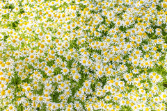Matricaria chamomilla flowers Stock Photography