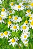 Matricaria chamomilla kwiaty Fotografia Stock
