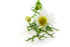 Matricaria chamomilla, medyczny chamomile Fotografia Royalty Free