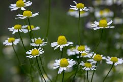 Matricaria chamomilla scented mayweed in bloom. Medicinal flower with white petals and red center, herb stock photography