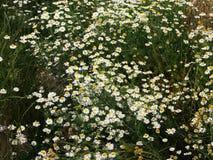 Matricaria chamomilla syn Matricaria recutita (chamomile) Royalty Free Stock Images