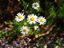 Matricaria chamomilla syn Matricaria recutita (chamomile) Stock Images