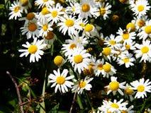 Matricaria chamomilla syn Matricaria recutita (chamomile) Royalty Free Stock Image
