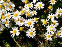 Matricaria chamomilla syn Matricaria recutita (chamomile) Stock Photo