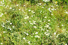 Matricaria flowers on summer meadow Royalty Free Stock Photography