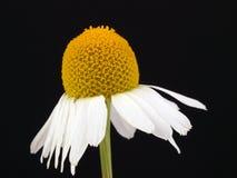 Matricaria recutita. Wild Camomile Matricaria recutita flowers Royalty Free Stock Photos