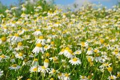 Matricaria recutita Matricaria chamomilla flowers. Focus on flower in front royalty free stock photos