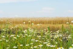 Matricaria resistente agradable aromático de las publicaciones anuales de las malas hierbas, manzanilla, mayweed, creciendo a lo  imagen de archivo libre de regalías