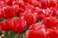 Matrice dei tulipani rossi Immagini Stock Libere da Diritti