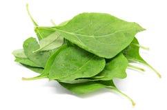 Matrimony vine leaf. On the white background Royalty Free Stock Image