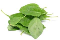 Matrimony vine leaf. On the white background Stock Image