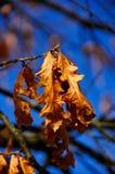 matris oak Arkivfoton