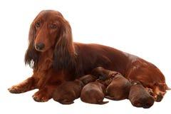 A matriz com suckle filhotes de cachorro Imagem de Stock Royalty Free