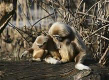 Matriz & criança do macaco do Tamarin Fotos de Stock Royalty Free