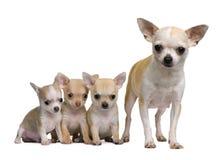 Matriz da chihuahua e seus 3 filhotes de cachorro, 8 semanas velhos Fotografia de Stock Royalty Free