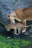 Matriz da leoa e seus jovens Fotografia de Stock