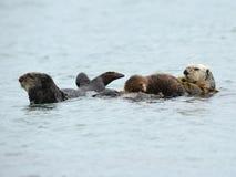 Matriz da lontra de mar com bebê e homem, sur grande, Califórnia, EUA Fotografia de Stock Royalty Free