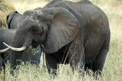 Matriz do elefante Imagens de Stock Royalty Free