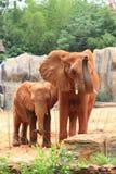 Matriz do elefante africano com seu bebê Foto de Stock