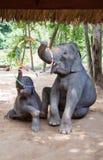 Matriz do elefante com sua vitela Imagem de Stock Royalty Free