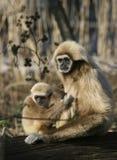 Matriz do macaco com criança Fotos de Stock Royalty Free