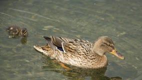 Matriz do pato com pintainhos Foto de Stock Royalty Free