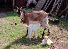Matriz e bebê da cabra Fotos de Stock Royalty Free