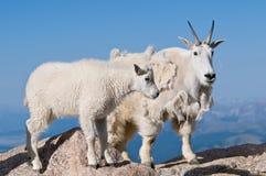 Matriz e bebê da cabra de montanha Fotografia de Stock