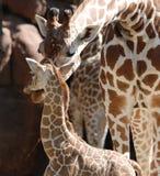Matriz e bebê do Giraffe foto de stock
