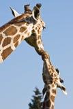 Matriz e bebê do Giraffe Fotografia de Stock Royalty Free