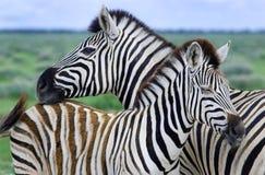 Matriz e criança da zebra Fotografia de Stock Royalty Free