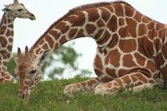 Matriz e criança do Giraffe Fotografia de Stock Royalty Free
