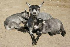 Matriz e Cubs felizes Fotografia de Stock