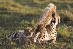 Matriz e filhote da chita Foto de Stock Royalty Free